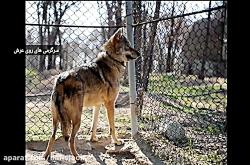 ۱۰ حقیقت جالب و شنیدنی در مورد گرگ ها
