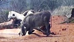 شکار گرازها با تیر و کم...