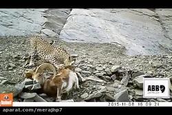 یوزپلنگ کوه های موردکو ...