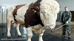 عجیب ترین حیوانات بزرگ در دنیا