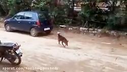 مبارزه سگ نر با سگ ماده برای جفت گیری