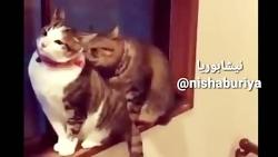 عشق گربه ای چه عشوه ای ه...