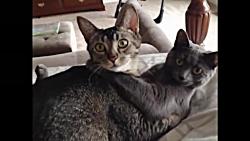 لو رفتن گربه ها حینِ کا...