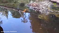شکار مار و اردک و سایر حیوانات توسط لاک پشت