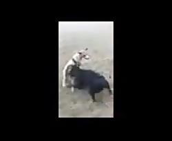 حیوانات_نزاع سگهای خیا...