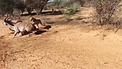 شکار گوزن توسط 2 یوزپلن...