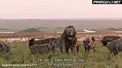 محاصره شدن شیر نر بین کفتارها - حیات وحش آفریقا