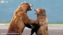 درگیری دو خرس گریزلی