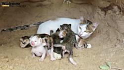 حمله مار به لانه گربه و بچه گربه ها