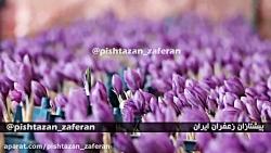 آموزش کشت زعفران گلخانه ای - برگزاری دوره