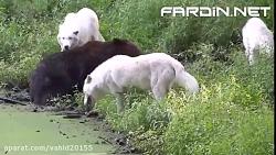 جنگ و نبرد گرگ ها با خرس گریزلی در حیات وحش
