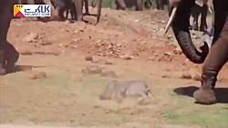 رفتار عجیب فیل نر با بچه فیل