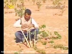 پیوند زدن درخت پسته - کرمون شاپ