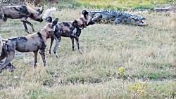 حمله حیوانات وحشی: بوفا...