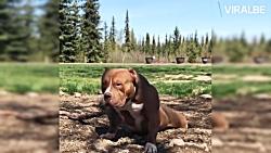 سگ های غولاسای پیت بول - بهترین انواع پیت بول