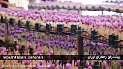 آموزش کشت گلخانه ای زعفران -کلیپ اختصاصی دوره