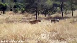 یوزپلنگ شکار و خوراک پل...