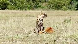لحظه شکار آهو توسط یوزپ...