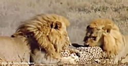 یوزپلنگ در حال شکار آهو...
