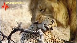 وقتی یوزپلنگ , شکار شیر ...