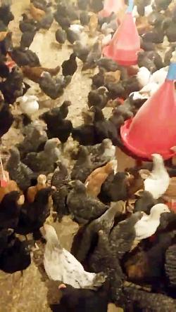 پرورش و خرید مرغ بومی تخمگذار(رویان طیور)