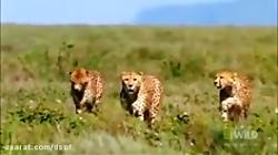 شکار گوزن یالدار توسط یوزپلنگ
