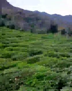 سفر به باغات چای گیلان