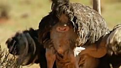 حمله یوزپلنگ به شتر مرغ...