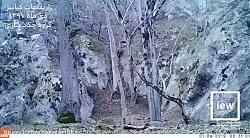 فیلمی دیدنی از پلنگ ایر...