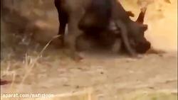 مبارزه حیوانات وحشی