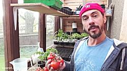 آموزش کاشت و پرورش گوجه فرنگی