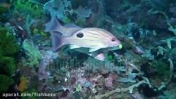 ماهی سرخوی هندی