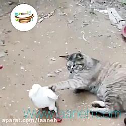 دعوای گربه ای