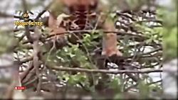 تلاش ببر برای شکار میمون در بالای درخت