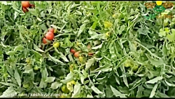کاشت موفق بذر گوجه فرنگی موناکو در کهورستان