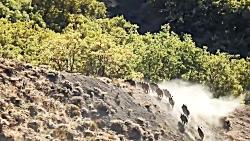شکار گرازها توسط تک تیرانداز