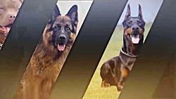 10 تا از خفن ترین سگ های پیت بول آمریکایی