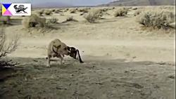 شکار جذاب غاز وحشی توسط عقاب - نبرد سگ و عقاب - نبر خرس و عقاب