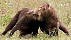 نبرد حیوانات در حیات وحش