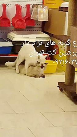 جفت یابی با گربه نر ۰۹۲۱۶۰۳۷۹۲۶