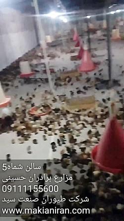 پرورش جوجه مرغ بومی تخمگذار(فروش جوجه یکروزه)