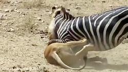 جنگ و نبرد گورخر و شیرها در حیات وحش