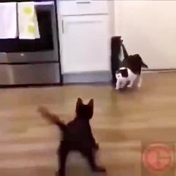 کشتی کج خنده دار گربه،جان سینو