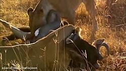 نبرد حیوانات وحشی در حیات وحش