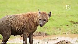 جنگ و نبرد شیرها و کفتار ها در حیات وحش