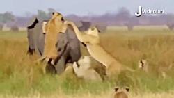 خرس گریزلی مقابل گرگ ها
