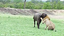 شکار گاومیش توسط شیرها در حیات وحش