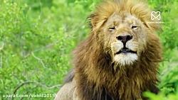جنگ و نبرد شیر و گراز در حیات وحش