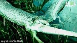 نبرد تمساح با مار پیتون