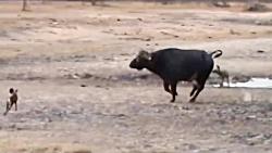 نابود کردن شیر توسط بوفالو در حیات وحش آفریقا